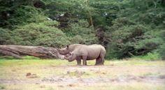 Rinoceronti  (75)