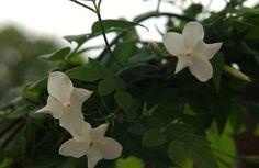 Jasmin Jasminum officinale Teekraut True White Jasmine Pflanze Bio | eBay