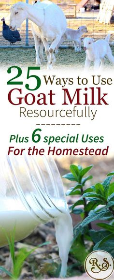 Dairy goat milk is a wonderful resource on the homestead. Once you start milking goats youll have times when you have way more milk than your family can drink! Here are lots of ways to get your brain thinking and solve that problem of excess milk. Backyard Farming, Chickens Backyard, Dairy Cow Breeds, Goat Milk Recipes, Dairy Recipes, Copycat Recipes, Alpine Goats, Goat Shelter, Goat Care
