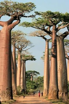 Baobab Alley, Madagascar. Am I the only one that thinks of the little prince whenever I see baobabs?!