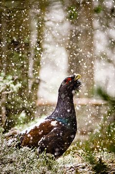 Capercaillie - In Heavy Snow. The Capercaillie is an Endangered species of grouse found in Scotland and other parts of the UK. Scottish Animals, Baby Squirrel, British Wildlife, Game Birds, All Gods Creatures, My Animal, Amazing Nature, Wildlife Photography, Farm Animals