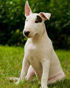 Raza: Bull Terrier Origen: Inglaterra Es un perro amable pero con carácter fuerte. Tiene un cuerpo musculado y robusto, posee mucha fuerza por lo que se recomienda ser firme en su entrenamiento. Es un perro de compañía pero tiene aptitudes para la defensa o como perro de guardia.