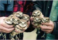 Hands full of baby owls