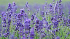 Lavender Essential Oil Uses   Essence + Origin