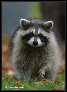 Raccoon 2 by Ptimac.deviantart.com on @deviantART