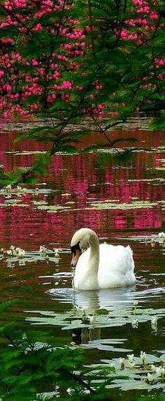 A Swan in Sheffield Park ~ Sussex, England. A Swan in Sheffield Park ~ Sussex, England. Beautiful Birds, Beautiful World, Animals Beautiful, Beautiful Places, Beautiful Pictures, Beautiful Swan, Animals And Pets, Cute Animals, Mundo Animal