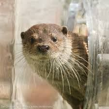 Cute otter is adorably curious!