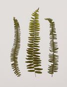 fern collection size 17x21  urbangardenbotanicals.com