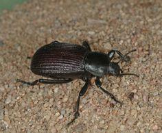 Ground Beetle. Good guy