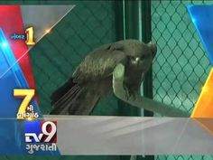 Ahmedabad : Uttarayan is round the corner and so begins the most dreaded week for birds in the state. Last year, number of birds were injured during the kite flying festival season. Many of these were migratory and exotic birds. Sarus cranes, falcons, kites, eagles and the endangered vultures are also cut down from the sky by the deadly manja (kite string). With almost the entire populace of Ahmedabad celebrating this festival, saving these birds is a herculean task.
