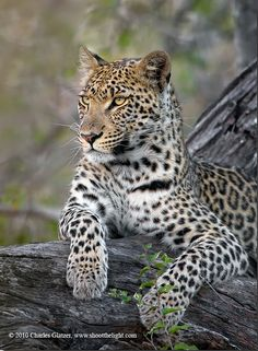 Leopard  by Charles Glatzer, via 500px
