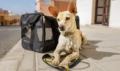 Traveling to a new country with your dog might sound complicated, and for good reason: it is. Technically, flying anywhere with your dog is complicated due to airline rules on what dogs can be in the cabin — but flying abroad adds on a few extra… Dog Transport, Best Small Dogs, Emotional Support Animal, What Dogs, Pet News, Dog Travel, Travel News, Therapy Dogs, Puppy Mills