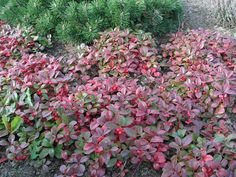 Gaultheria - replacement for the deceased euonymus fortunii?