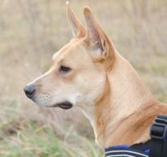 Diamond is an adoptable Shepherd Dog in Boone, NC. Diamond Age: 1 Years Old Gender: Female Breed: Pit Bull Terrier / Shepherd Mix Weight: Unknown Diamond came in as a stray with her friend Lana. They ...