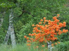 Blaze Orange  Orneville, Maine  By Marilee Page