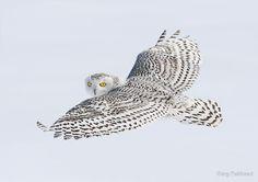Fixated Glance / Snowy Owl by Gary Fairhead