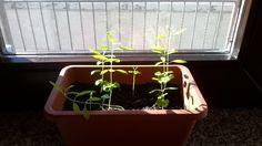 ho piantato i semi di melograno