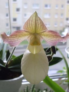 Paphiopedilum primulinum x micranthum | by JataR