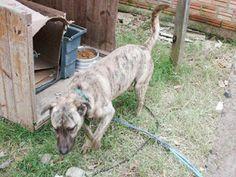 Adote, Não Compre!: Cachorro Tigrão de um ano para adoção em Porto Alegre