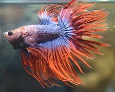 live betta fish - PURPLE/BLUE MARBLED BUTTERFLY DOUBLERAY CROWNTAIL MALE