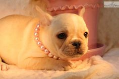 You'll love this Female French Bulldog puppy looking for a new home.