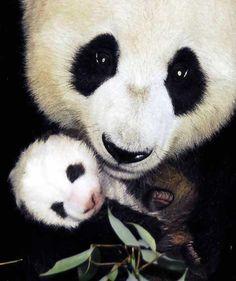 Tiny panda hands!