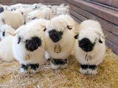 Yes, these are real sheep! So adorable, VALAIS BLACKNOSE SHEEP