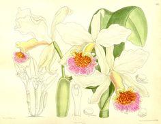 Orchid Curtis 137 (Ser. 4 no. 7) pl. 8377 (1911).jpg