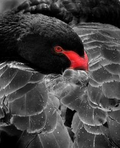 Black and white with a touch of red - Swan by Kim Walton