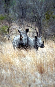 Volunteer with Via Volunteers in South Africa and help to keep our beautiful rhino's alive!
