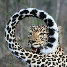 """beautiful-wildlife:""""A Leopards Tail by © jonpwightman"""" Big Cats, Crazy Cats, Cool Cats, Cats And Kittens, Siamese Cats, Animals And Pets, Funny Animals, Cute Animals, Wild Animals"""