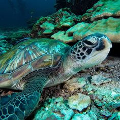 Just chillin happy from this dude Hawaiian Sea Turtle, Turtle Time, Tortoise Turtle, Underwater Creatures, Wild Creatures, Colorful Fish, Patterns In Nature, Ocean Life, Marine Life