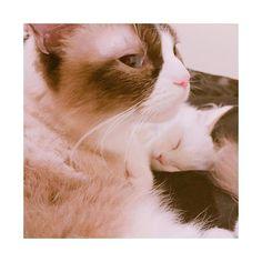 ベストショット♡ えるにゃいいお顔❤(´ω`*) #ラグドール #ラグドール部 #ラグドールえる #ラグドールエル #ラガマフィン #ラガマフィン部 #ラガマフィンいぶ #ラガマフィンイブ #仔猫 #子猫 #にゃんこ #にゃんこ部 #家猫 #にゃんにゃん #猫 #癒し #ねこスタグラム #cat #ragdoll  #ragamuffin #えるちゃん #えるにゃん #猫様 #愛猫 #猫好き #ねこさま #ねこ #多頭飼い #白猫 #しろねこ