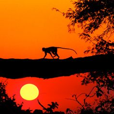 A vervet monkey is silhouetted by the setting sun on the Botswana/Namibian border.