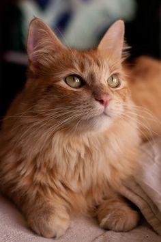 Isn't he a handsome guy? Pretty Cats, Beautiful Cats, Animals Beautiful, Cute Cats And Kittens, Kittens Cutest, Orange Tabby Cats, Ginger Cats, Warrior Cats, Cute Baby Animals