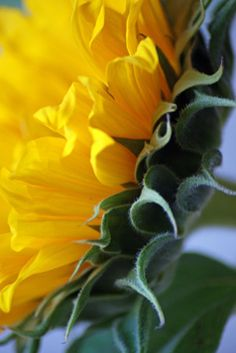 I just love the profile of a sunflower.  So many beautiful layers! ~by shannon wagner photography