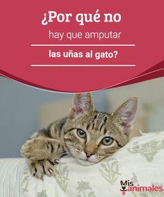 ¿Por qué no hay que amputar las uñas al gato?   Aunque haya gente que piense lo contrario, hay serios motivos por los que nunca se deben amputar las uñas a un gato y aquí te los mostramos. #uñas #gato #amputar #salud