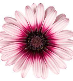 Tähtisilmä 'Gabriela' Plants, Garden Planning, Plant, Planets