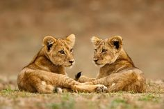 Two lion cubs.