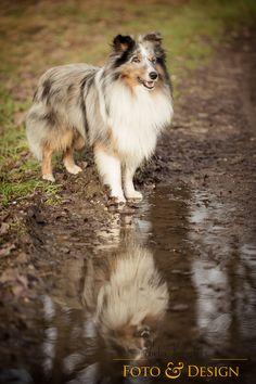 Another sheltie but blue Merle. Shelties are so loyal Red Queen, Blue Merle Sheltie, Herding Dogs, Shetland Sheepdog, Dog Friends, Collie, Merlin, Best Dogs, Cute Dogs