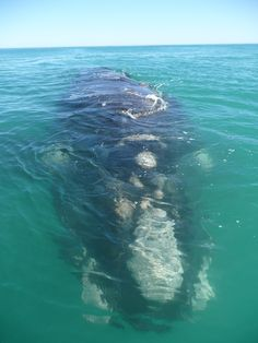 Watching the Southern Right Whales #Hermanus #Whales