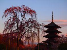東寺の不二桜と五重塔、そして満月 | 京都旅屋 ~気象予報士の観光ガイド・京都散策~