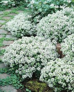 Buy creeping thyme / Thymus serpyllum 'Snowdrift' Thymus serpyllum Snowdrift - Tiny clear white flowers: pot: Delivery by Crocus Garden Cottage, Home And Garden, Thymus Serpyllum, Creeping Thyme, White Gardens, Summer Garden, Dream Garden, Herb Garden, Garden Inspiration