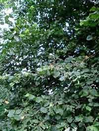 Corylus avellana hazelaarsnoei voor meer noten=hazelaartunnel, verdraagt verharding