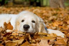 Sweet Golden puppy in autumn leaves