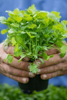 We hand raise Australia's favourite fresh herbs. Fresh Herbs, Veggies, Australia, Design, Vegetable Recipes, Vegetables