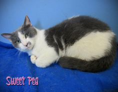 SWEET PEA IS URGENT!  Located in Mullins, SC- Marion Co. Animal Shelter/Paws to the Rescue  Paws to the Rescue is a 501 (c)3 non-profit organization  ID# 130087  Approx.Age: 1-2 years  Weight: 3.9 lbs  Suspected breed(s): DSH  FIV/FeLV Status: Negative  Sex: Female  MCAS is a high-kill, open-intake COUNTY shelter. Every animal is considered URGENT at all times!  Rescues interested in pulling?  email SaveAMarionPup@gmail.com  Adopters interested in adopting? email SaveAMarionPup@gmail.com