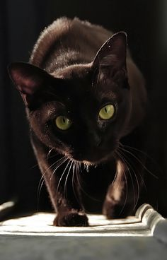 I have 2, my dears babies Dot and Lilly...  BLACK  CATS  Im back by ~cougarLV