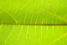 なつのひかり はっぱ    The leaf looks like a map    Light of SUMMER 2014