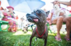 Yoda | 16 Of The Cutest Dogs At The World's Ugliest Dog Contest